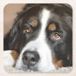 bernese mountain dog laying square paper coaster