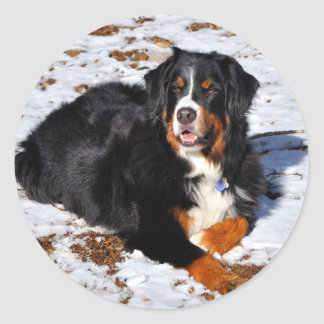 Bernese Mountain Dog Playing in Winter Snow Classic Round Sticker