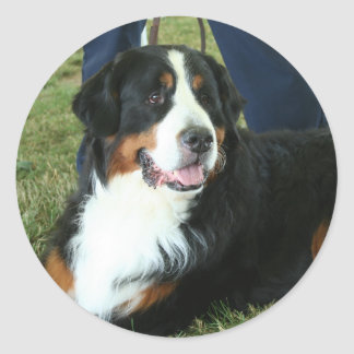Bernese Mountain Dog Round Sticker