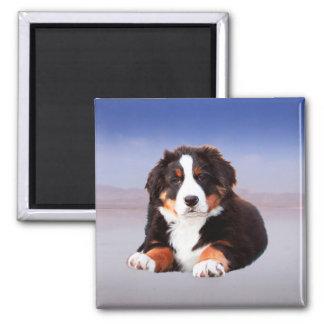 Bernese Mountain Dog Sitting on Beach Magnet