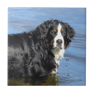 Bernese Mountain Dog Tile