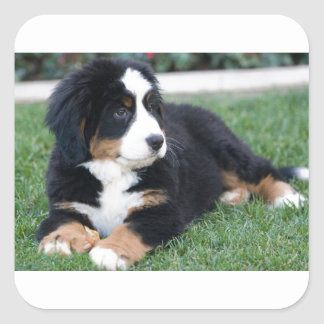 Bernese Mountain Puppy Square Sticker