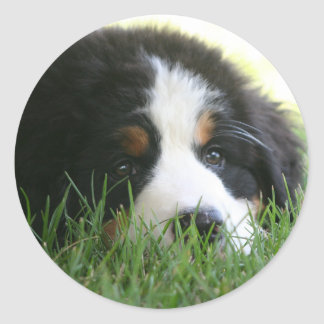 Bernese Puppy Classic Round Sticker
