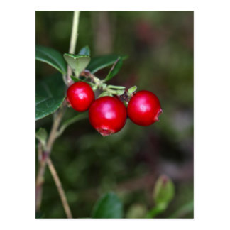 Berries of a wild lingonberry (Vaccinium vitis-ide Postcard