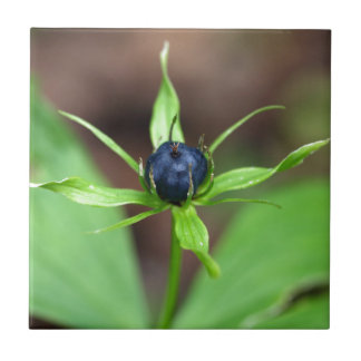 Berry of an herb paris (Paris quadrifolia) Tile