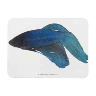 Betta Fish or Male Blue Siamese Fighting Fish Magnet