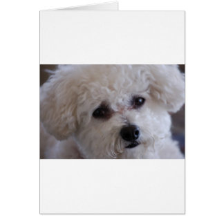 Bichon close up card