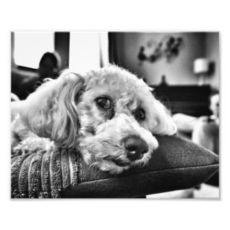 Bichon frise on sofa photographic print