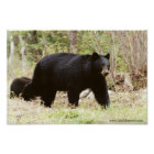 big black bear poster