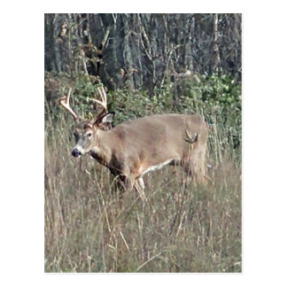 Big buck by james potvin postcard