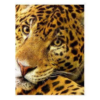 Big Cats - 3 Postcard