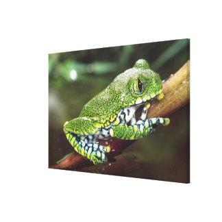 Big Eye Treefrog, Leptopelis vermiculatus, Canvas Print