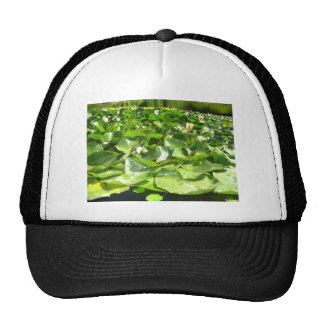 big green lilypads on a pond hats