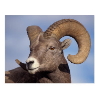 big horn sheep, mountain sheep, Ovis canadensis, Postcard