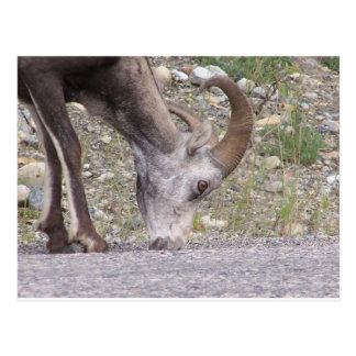 Big horn sheep postcard