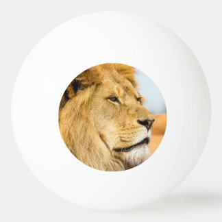 Big lion looking far away ping pong ball