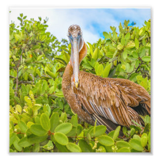 Big Pelican at Tree, Galapagos, Ecuador Photo Print