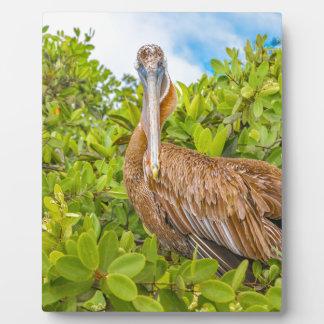Big Pelican at Tree, Galapagos, Ecuador Plaque
