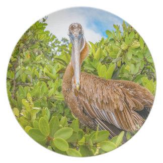 Big Pelican at Tree, Galapagos, Ecuador Plate