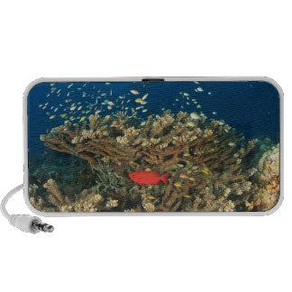 Bigeye hiding under hard coral, Kadola Island, Mp3 Speakers