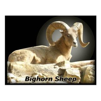 Bighorn in Dark Postcard