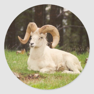 Bighorn Sheep Classic Round Sticker