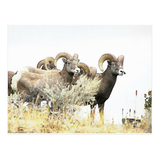 Bighorn Sheep Ewes in BC Canada Postcard
