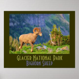 Bighorn Sheep of Glacier National Park Poster