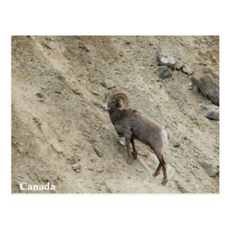 Bighorn sheep on a hill postcard