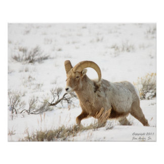 Bighorn Sheep Portrait #4 Poster