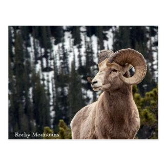 Bighorn Sheep - Rocky Mountains Postcard