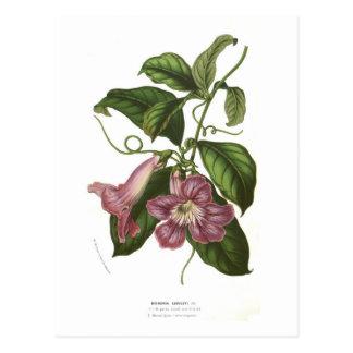 Bignonia lindleyi postcard