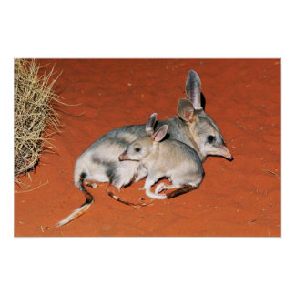 Bilby and Baby Resting in the Desert Poster