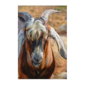 Billy Goat Acrylic Print