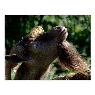 Billy Goat Postcard