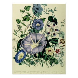 Bindweed, plate 26 from 'The Ladies Postcard
