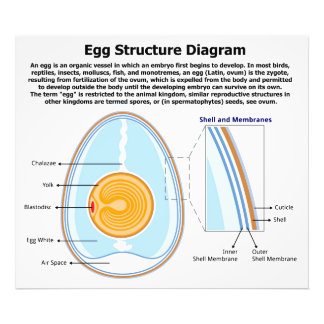 Biological Diagram of the Anatomy of an Egg Photo