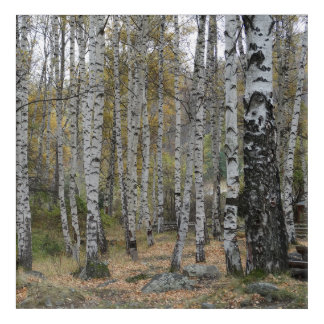 Birch Forrest Autumn Photo Acrylic Wall Art