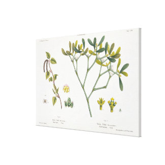 Birch (left) and Mistletoe (right), fig. 9 and 10 Canvas Print