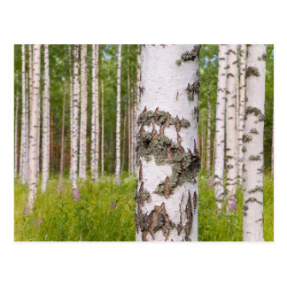 birch trees in Finnish forests Postcard