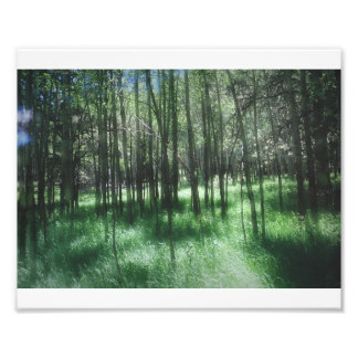 Birch Trees Photo Print