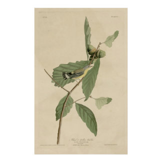Bird, America, Black Yellow Warbler, Audubon, Vint Poster