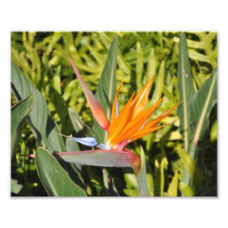 Bird of Paradise Photo Print