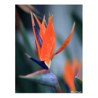 Bird of Paradise Postcard