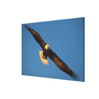 Bird of Prey, Bald Eagle in flight, Kachemak Stretched Canvas Prints
