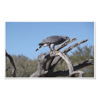 Bird of Prey  Grey Hawk Photo Print