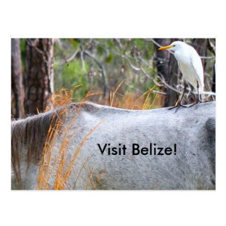 Bird Riding Tired Horse in Belize Postcard