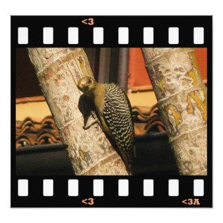 birds- hoffman's woodpecker photograph