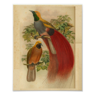 Birds of Paradise Red Yellow Vintage Print