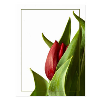 Birth of a Spring Red Tulip Postcard